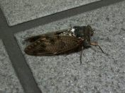 Japanese Cicadas, which come out every year in swarms loud enough to make people go deaf.