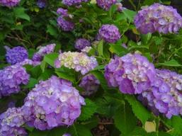 Kyoto Hydrangea Season