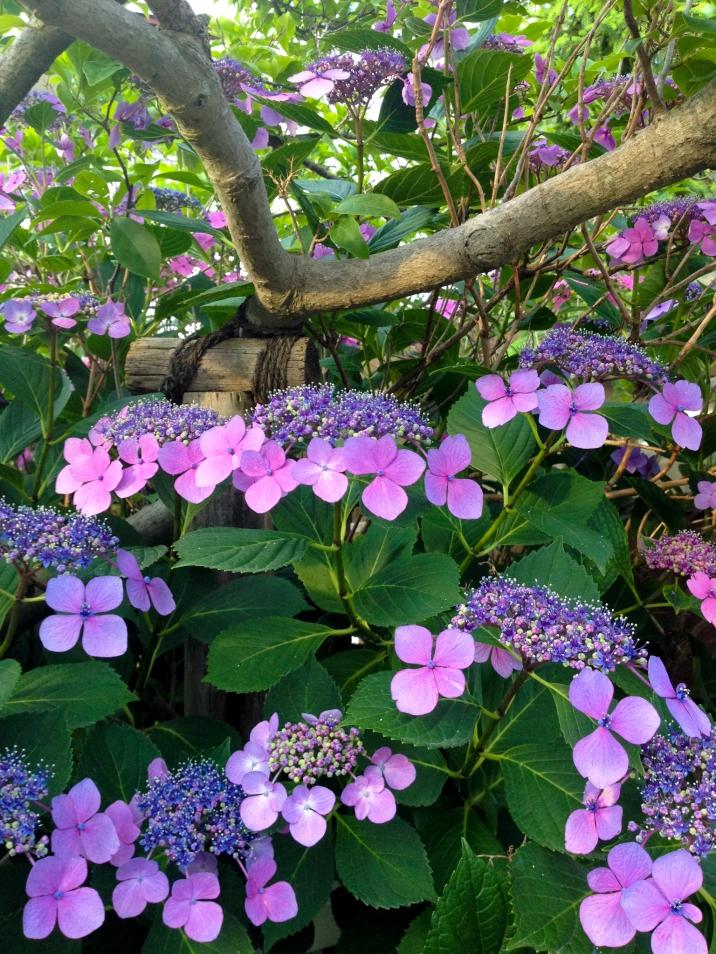 Hydrangea Blossom in Kyoto
