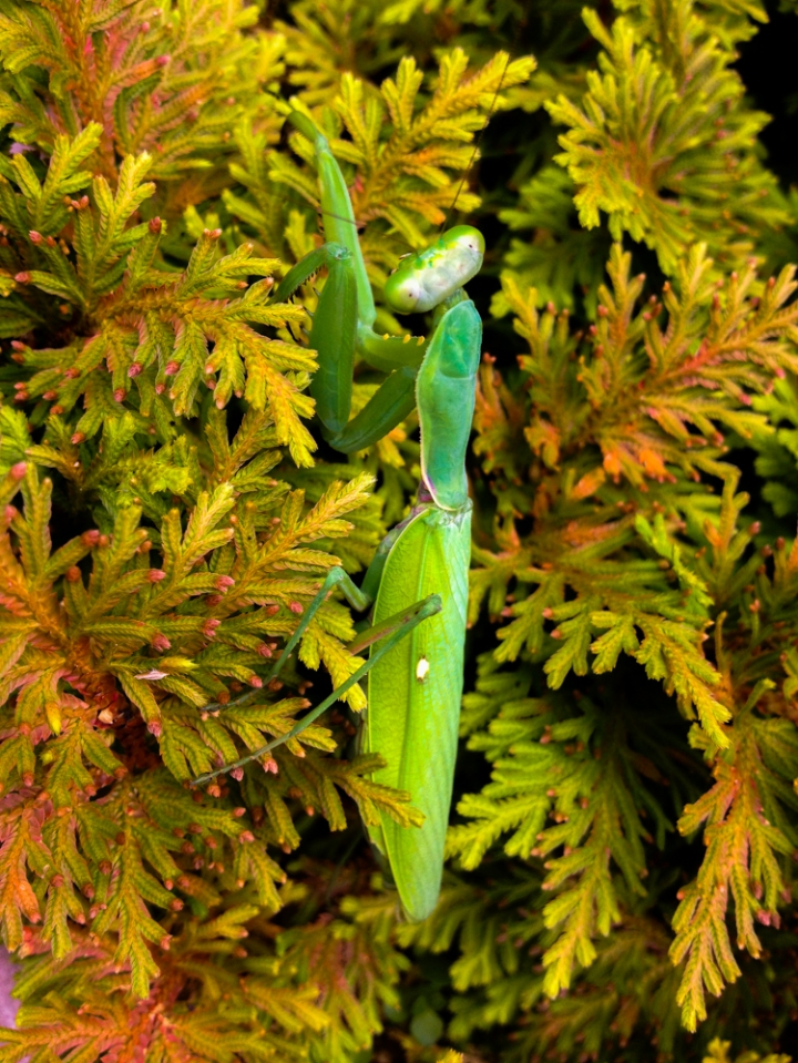 Mantises are the insect of September this year. I've seen one every day I've gone out this week.