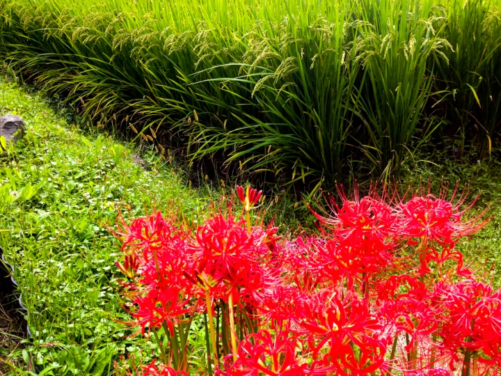 Lycoris, the Cluster Amaryllis