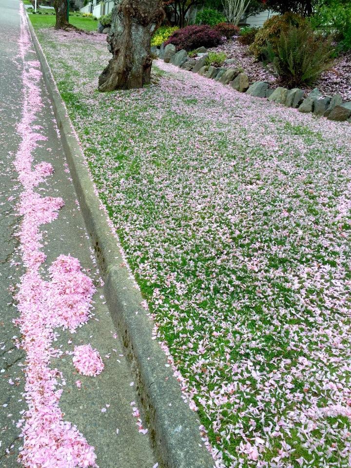 Cherry Blossom Petal Rivers, Vancouver BC 2016 © Alex Hurst