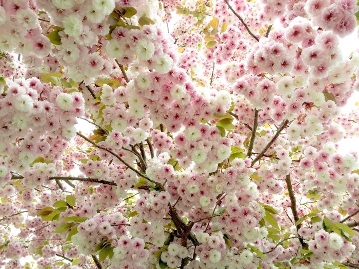 Cherry Blossom Bursts, Vancouver BC 2016 © Alex Hurst