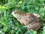 Mr. Bullfrog - bigger than my hand!