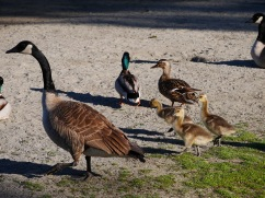 Canadian Geese and Goslings